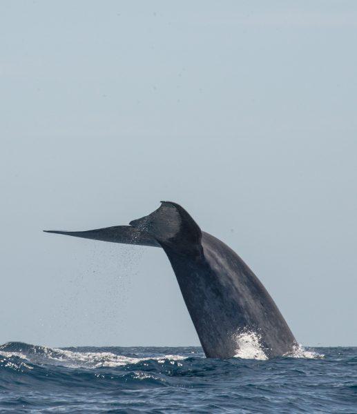 Blåhval med halen i været